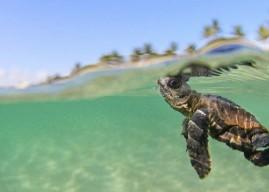 Caretta caretta czyli polowanie na żółwie