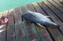 Republika Zielonego Przylądka - tuńczyk w cenie 5€ za 6kg