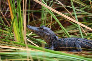 Everglades - aligator
